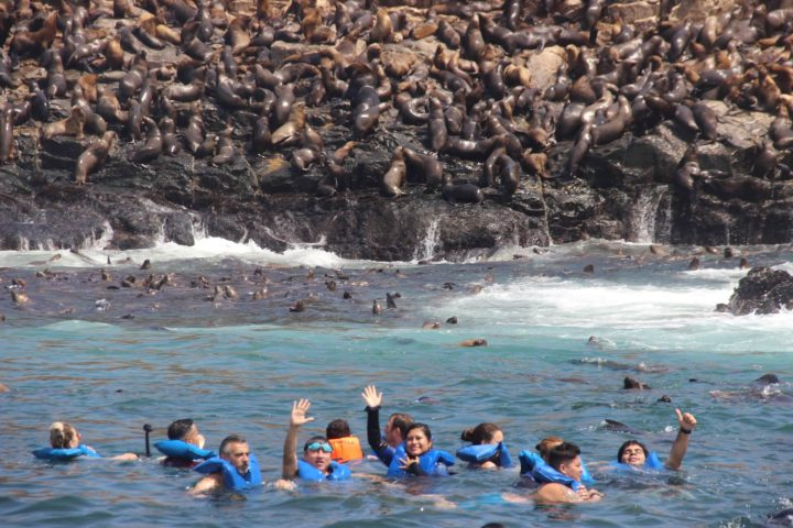 Sealions in water in Callao