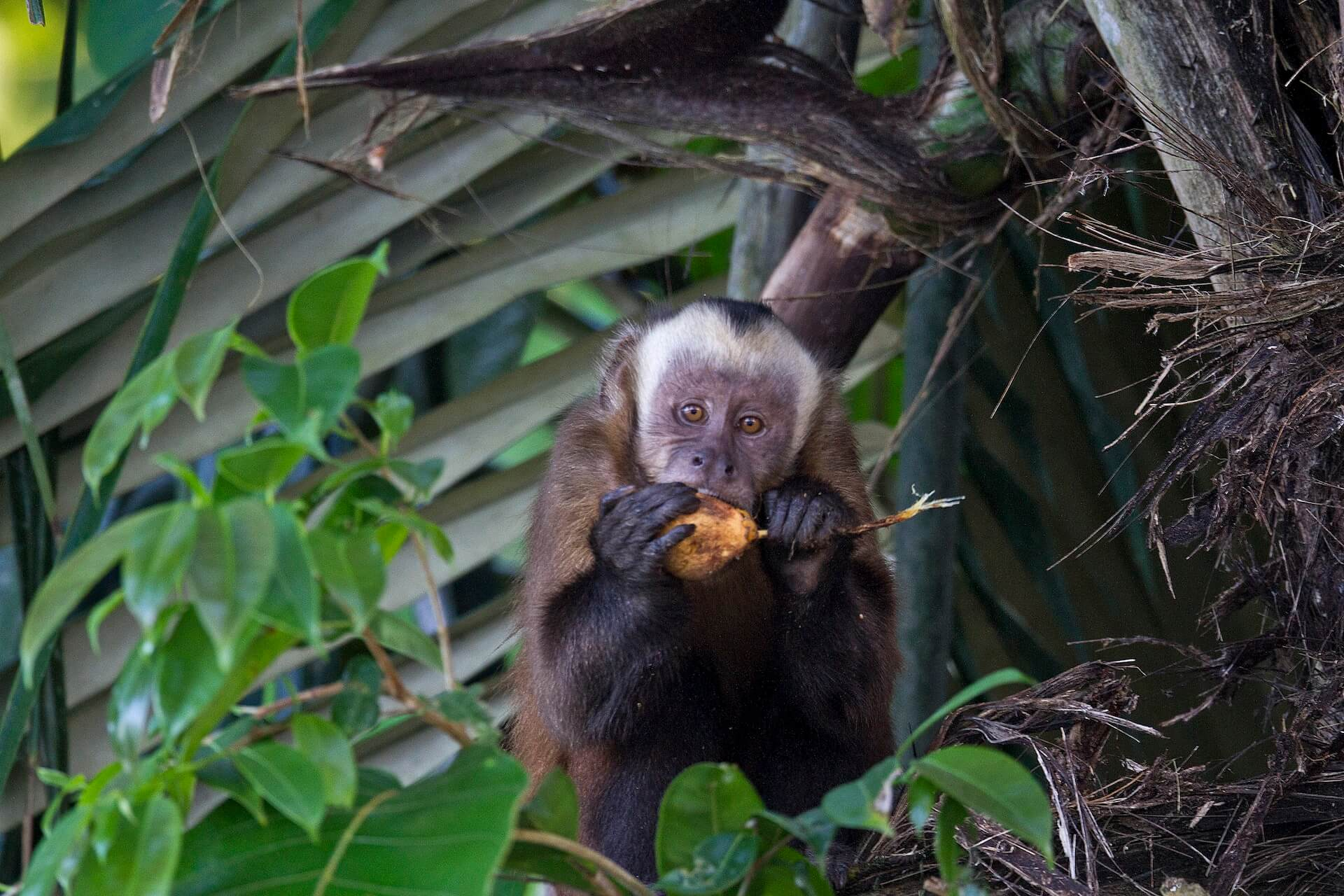 Capuchin Monkey in Peruvian Rainforest near Puerto Maldonado