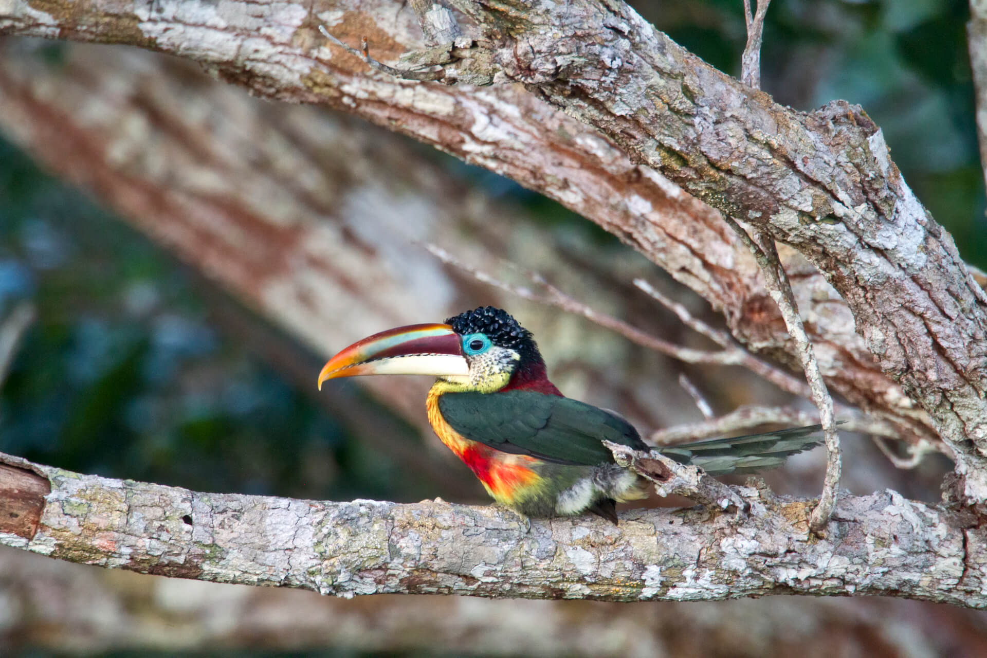Curl Crested Aracari Bird in Peruvian Rainforest