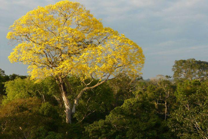 Yellow Tree in Peruvian Rainforest